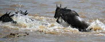 Wildebeest cross river as crocodile approaches