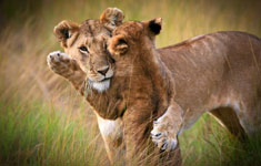 Mama lion and baby cub