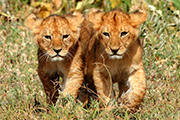 lion cubs on photo safari