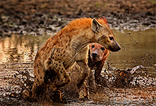 hyenas fighting