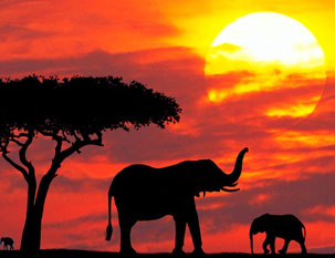 African elephants in sunset